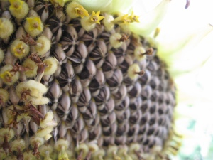 sunflower going to seed